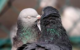 Kissing Birds Pigeons