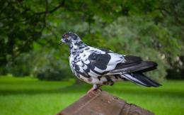 pigeon lovely images free download desktop pigeon hd wallpapers