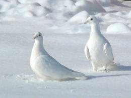 White Pigeon in Snow