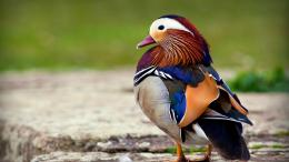 Awesome Pigeon Bird 1080p Wallpaper download