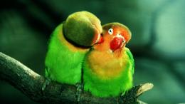 romantic birds couple hd wallpapers