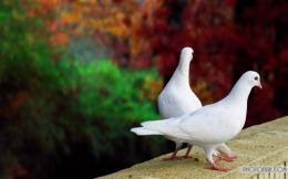 White Pigeon Free Desktop Wallpapers