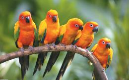 Yellow Parrot HD Wallpapers
