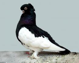 Black and White Bird Pigeon Pics