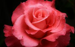 Red rose hd Wallpapers Pictures Photos Images