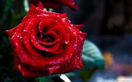 Rose day 2015 HD wallpaper for Valentines day