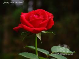 rose wallpapers rose wallpaper beauty rose wallpaper red rose