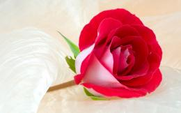 37+ Beautiful Roses HD Wallpapers 1