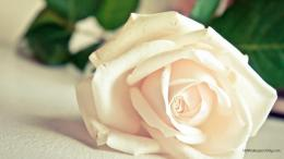 rose hd wallpapers widescreen for the lovers of rose infact white rose