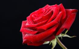 Red rose HD wallpaper as a gift on on valentines day 2015