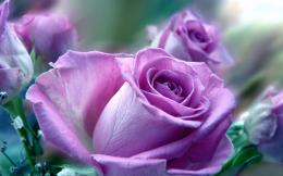 Rose Flowers HD Wallpaper 472x295 Purple Rose Flowers HD Wallpaper