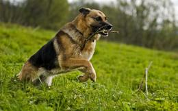 German Shepherd Dog HD Wallpapers 2013