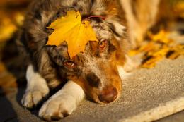 home animals australian shepherd sheet look dog hd wallpaper