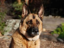 German Shepherd Dog HD Wallpaper