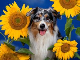 australian shepherd wallpaper 36412 37241 hd wallpapers 1024x768 jpg