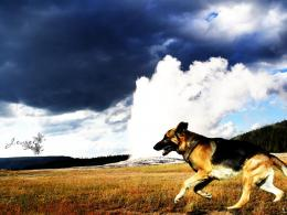 German Shepherd HD Wallpapers, German Shepherd Dogs Wallpapers