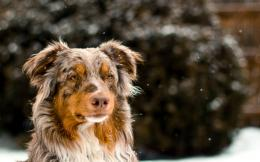 australian shepherd wallpaper hd 36404 37233 hd wallpapers 1024x640