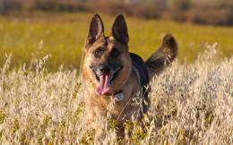 German Shepherd HD Wallpaper