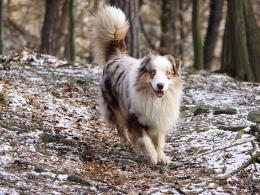 Tags : A , Dog Australian Shepherd Wallpaper HD Photo , dogs