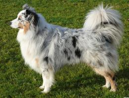 shepherd dogAustralian Shepherd Dogs Wallpapers HD Wallpapers kDAZNK6f