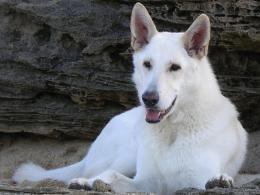 American White Shepherd Wallpaper HD Images