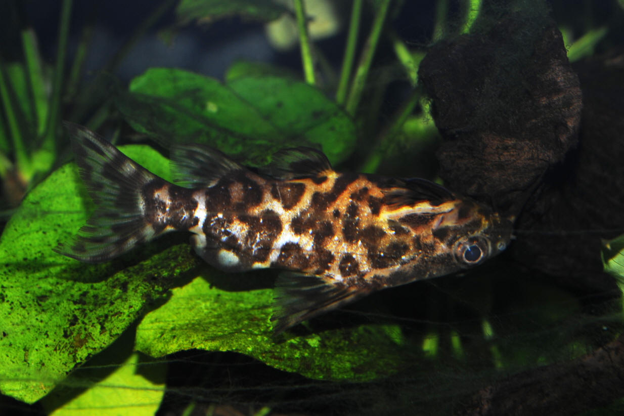 This Brindle Upside down catfish wallpaper was viewed by 220 users 1388