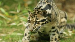 Leopard Wild Animal Wallpaper With Resolutions 1536×864 Pixel