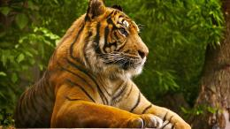 beautiful tiger wild animal desktop wallpaper 1920x1080