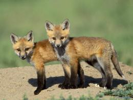 Wild Animals Foxes