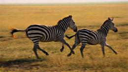 Wallpaper wildlife animals zebras wallpapers Animal HD Wallpaper