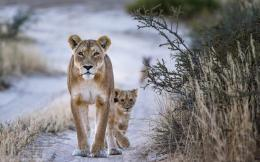 Homepage » Animals And Birds » Animals » Wildlife lion hd wallpaper