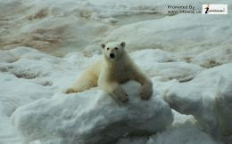 wildlife, polar, baby, bear, popular, cute, wallpapers, wallpaper