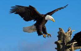 Birds wildlife eagles bald HD Wallpaper