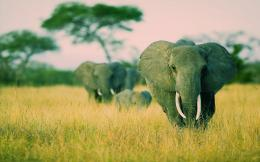 Elephants Windows 7 Savannah Theme Wildlife HD Wallpaper