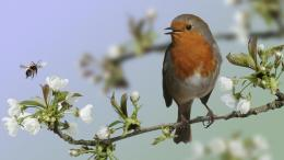 England birds wildlife European Robin HD Wallpaper