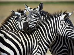 zebra animal desktop hd wallpaper zebra animal widescreen wallpaper