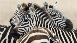 HD animal wallpaper with a group of zebras HD zebra wallpapers
