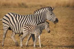 zebra desktop backgrounds jpg