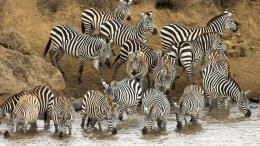 HD animal wallpaper with lots of zebras drinking near a river | HD