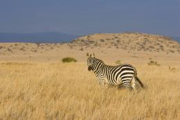 The best top desktop zebras wallpapers hd zebra wallpaper 27 jpg