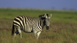 Zebra HD Wallpaper 9
