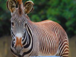 The best top desktop zebras wallpapers hd zebra wallpaper 4 jpg