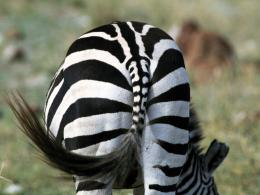 The best top desktop zebras wallpapers hd zebra wallpaper 13 jpg