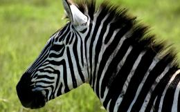 The best top desktop zebras wallpapers hd zebra wallpaper 32 jpg