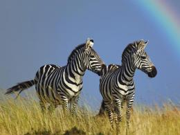 Zebra new Desktop HD Wallpapers