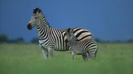zebra hd wallpaper cute zebra hd wallpapers zebra animal hd wallpaper