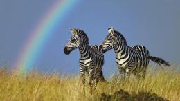 zebra wallpaper cute zebra hd wallpaper cute zebra hd wallpapers zebra