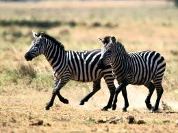 The best top desktop zebras wallpapers hd zebra wallpaper 10 jpg