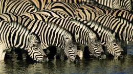 Zebra HD Wallpapers