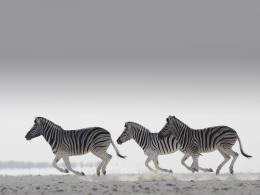 zebra animal hd wallpaper zebra background hd wallpaper zebra hd